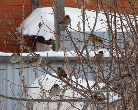 Flock of house sparrows (Passer domesticus) hiding among branches. Chubby little birds sitting on naked tree. Sunny winter day.