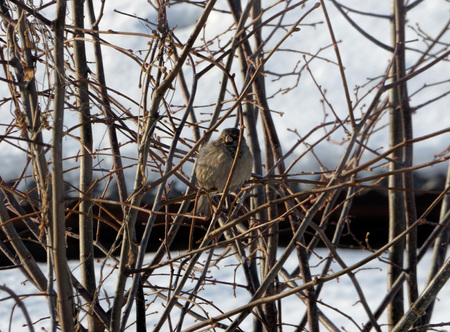 House sparrow (Passer domesticus) hiding among branches. Chubby little bird sitting on naked tree. Sunny winter day.