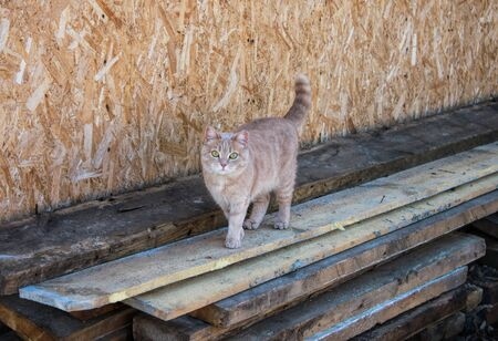 Ginger cat walking on wooden boards. Wooden wall behind. Imagens