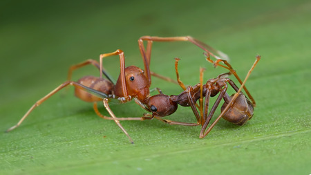 mimic: An ant mimic spider catch a weaver ant Stock Photo