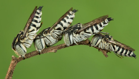 cuckoo: Four sleeping cuckoo bee