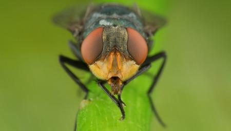 flesh: A portrait of a flesh fly