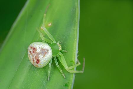 thomisidae: Mastira crab spider