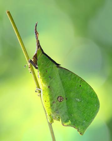 mimic: Leaf mimic grashopper