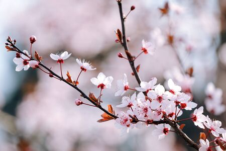 Blossoming branch of a tree on the background of the garden