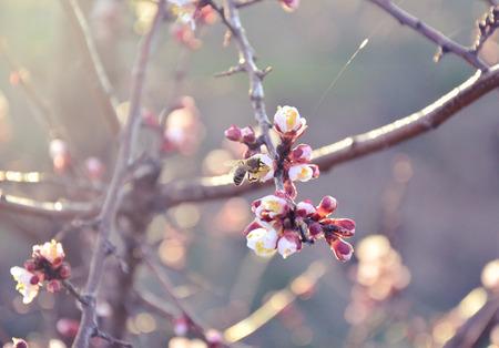 nectar: bee gathering nectar on cherry Stock Photo