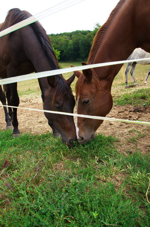 steed: Purebred bay horse grazing in corral summertime Stock Photo
