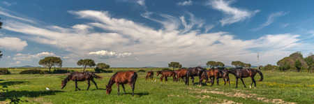 Panorama with horses grazing on a green meadow
