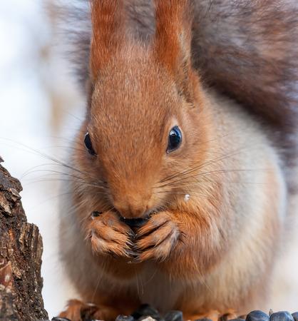 fluffy tuft: Eurasian red squirrel gnaws sunflower seeds. portrait close