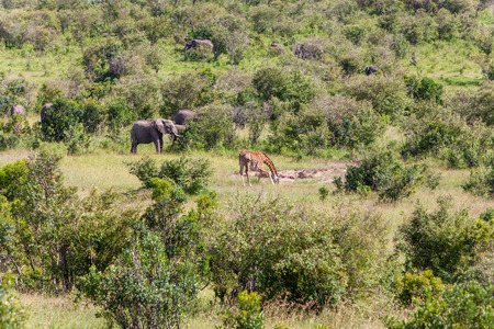 African elephant family and giraffe walking in the savanna photo