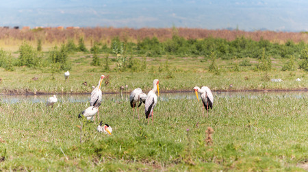 onocrotalus: White pelicans, Kenya, Eastern Africa Stock Photo
