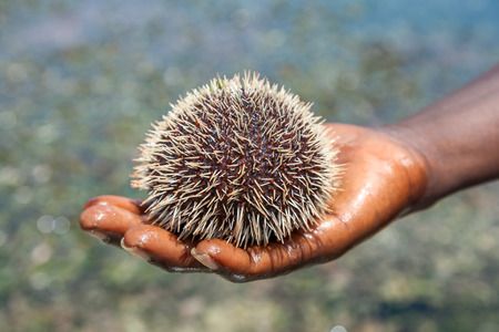 The sea hedgehog lays on a mans hand Stock Photo