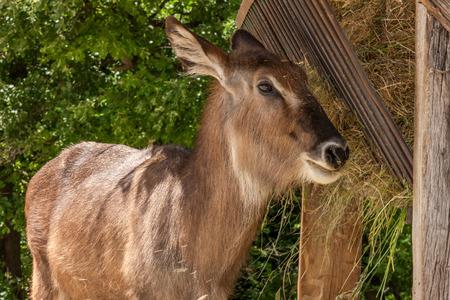tanzania antelope: Zoo. antelope on a background of green