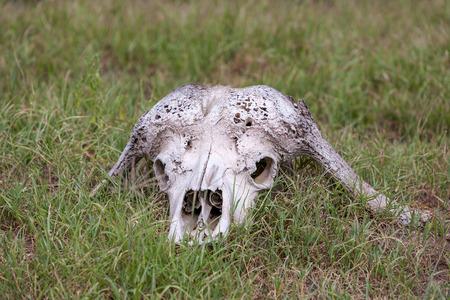 cow teeth: Buffalo Skull in Savannah,  Kenya Africa