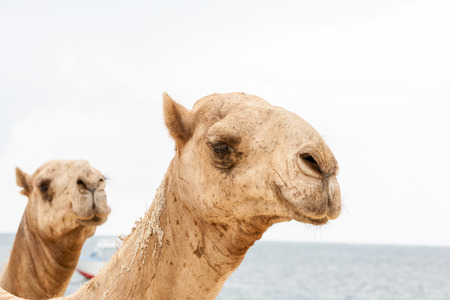 two heads: Two heads of a camels on a background of the ocean