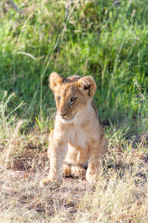 plains: A lion cub on the plains of the Kenya, green grass in the background