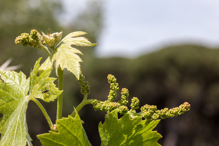 young green unripe wine grapes against the backdrop of a plantation Reklamní fotografie
