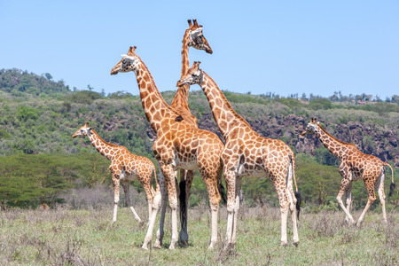 Wild giraffes herd in savannah, Kenya, Africa photo