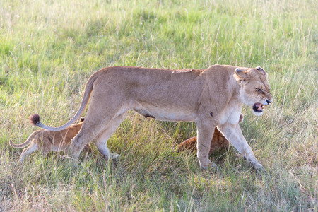 A lion cub on the plains of the Kenya, green grass in the background. mother with her babys photo