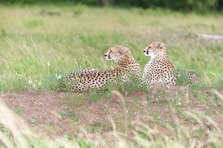 cheetahs: portrait of a  two cheetahs on a background of savanna