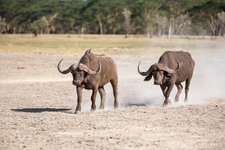 Two wild African Buffalo  in Kenya, Africa photo