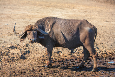 Wild African Buffalo  on the background of the earth in Kenya, Africa photo