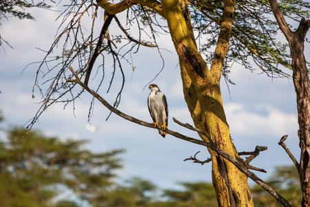 lake naivasha: African Fish Eagle on a tree at Lake Naivasha, Kenya Stock Photo