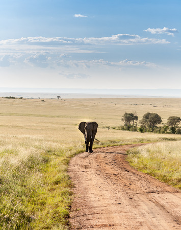 Une marche africain d'éléphant dans la savane Banque d'images - 37471878