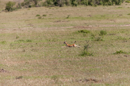 Safari.  baby antelope on a background of green grass photo