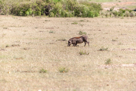 bush hog: Warthog en el parque nacional de Kenia, �frica