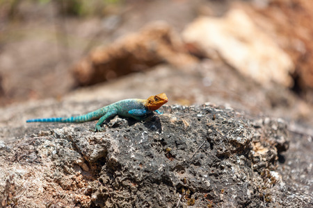 yellow and green lizard against the background of stone photo