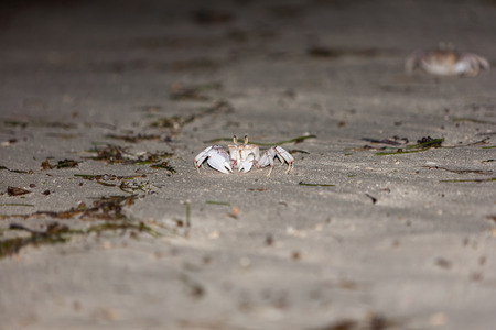 omnivores: The gray crab on  the gray sand