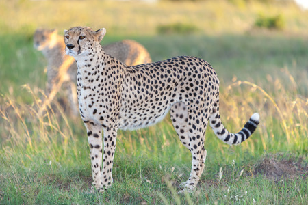 Close-up portrait of a cheetah on a background of savanna photo