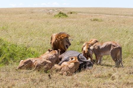 Leones Alimentación - leones come la presa contra el telón de fondo de la sabana, Kenya, África Foto de archivo - 37471850