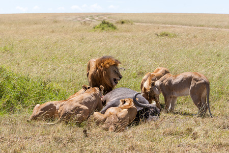 Lions Feeding - lions eats the prey against the backdrop of the savannah, Kenya, Africa