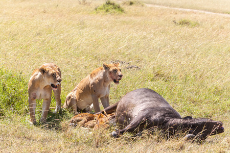 Lions Feeding - lions eats the prey against the backdrop of the savannah, Kenya, Africa photo