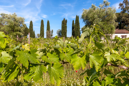 biological vineyard: young green unripe wine grapes against the backdrop of a plantation