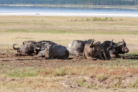 The wild black African Buffalos lie on the grass savanna in Kenya, Africa photo
