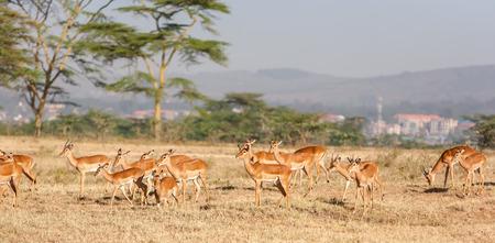 tanzania antelope: antelope on a background of green grass