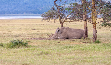Safari -   sleeping rhino on the background of savanna photo