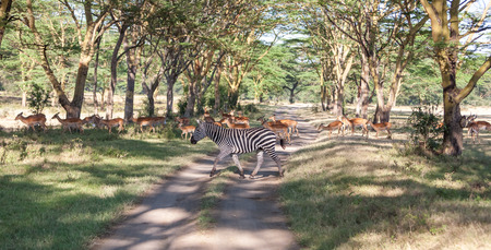 tanzania antelope: antelopes and zebras on a background of road. Safari in Africa