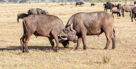 The wild  black African Buffalos in Kenya, Africa photo