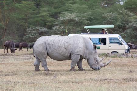 savanna: white rhino on the background of savanna
