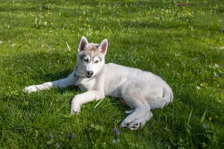 Portrait of puppy of the Siberian Husky on the background of green grass photo