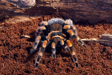 flauna: Mexican red knee tarantula Brachypelma smithi. close-up on a background of brown soil