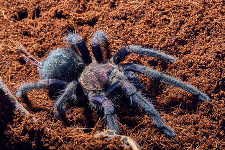 flauna: Tarantula Phormictopus sp purple close-up on a background of brown soil
