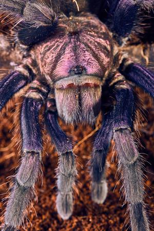 flauna: Tarantula Phormictopus sp purple close-up on a background of brown soil