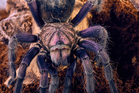 mature mexican: Tarantula Phormictopus sp purple close-up on a background of brown soil