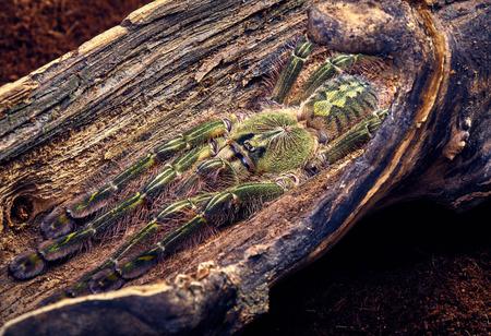 flauna: Tarantula Poecilotheria rufilata close-up on a background of brown tree Stock Photo
