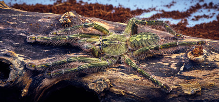 flauna: Tarantula Poecilotheria rufilata close-up on a background of brown tree Stock Photo